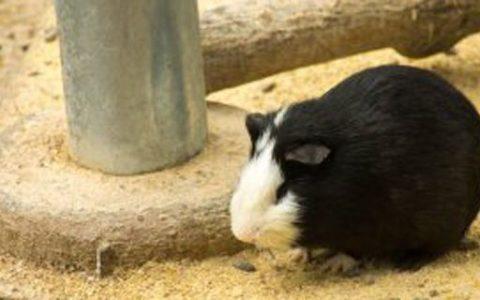 豚鼠和荷兰猪的区别