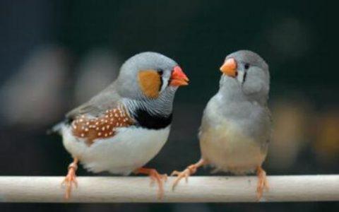 珍珠鸟为什么容易死