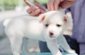 狗打四联疫苗多少针