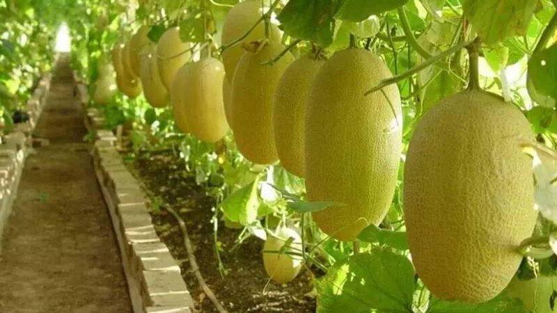 哈密瓜种植时间和方法(哈密瓜的种植技术及要点)