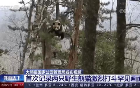 野生大熊猫为争配偶激烈打斗 主要是什么原因导致的
