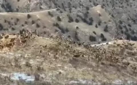 近200头白臀鹿追逐嬉戏 主要是什么原因导致的