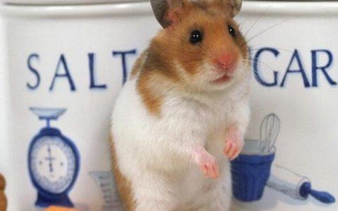 仓鼠吃白菜叶吗