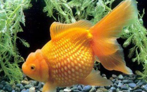 小金鱼为什么会死,容易死的原因是什么