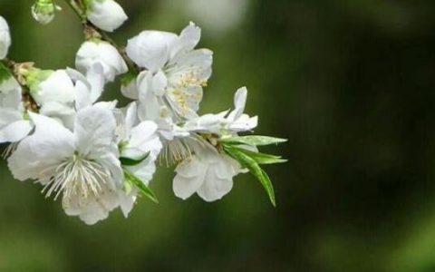白色桃花是什么品种