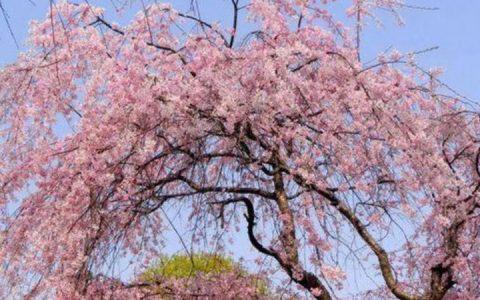 海棠花和樱花的区别