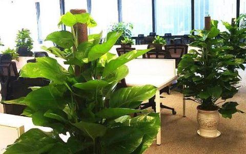 适合放在办公室的绿色植物有哪些
