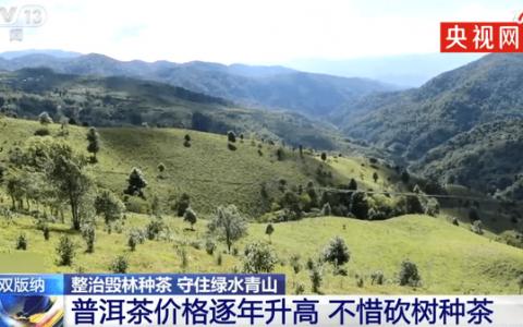 西双版纳现大规模毁林种茶 背后的真相原来是这样的