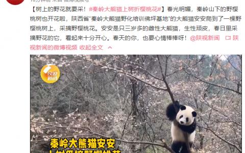 秦岭大熊猫上树折樱桃花 是真的对自己的体重一无所知吗