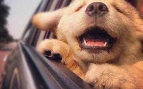 夏天金毛犬天热怎么养,对此有什么看法和想法